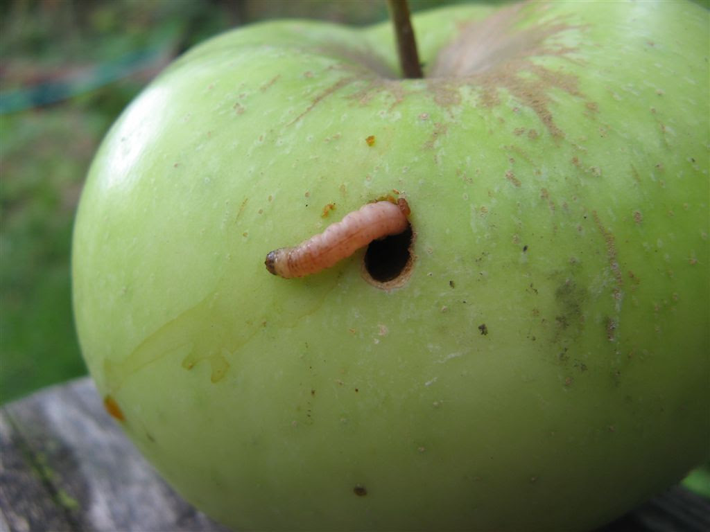 "The ""worm"" in your apple is usually actually a codling moth larvae ..."